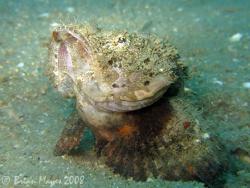Devil Scorpionfish (Scopaenopsis diabolus) doing press up... by Brian Mayes