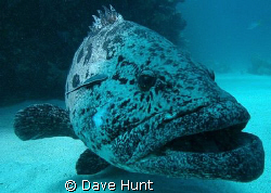 Potato cod at Barrier Reef's Cod Hole. by Dave Hunt
