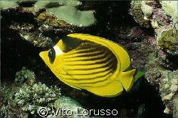 Fishs - Chaetodon fasciatus by Vito Lorusso