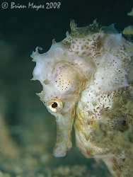A marine Lipizzaner. Thorny Seahorse (Hippocampus hystrix... by Brian Mayes