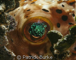 A little sparkle in the eye of this puffer! by Patrick Burke