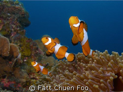 A family of False Clown Anemonefish popped up from their ... by Fatt Chuen Foo