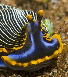 Armina sp. flatworm from Dauin, Philippines. by Jim Chambers