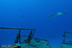 These two barracuda kept circling us as we explored the  ... by Don Bricker