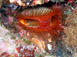 """Electric clam.  Sometimes called fire clam. This clam """"pu... by Dave Hunt"""