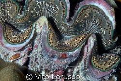 Tridacnes - Tridacna gigas by Vito Lorusso