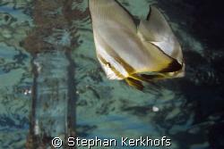 longfin spadefish (platax teira) taken near the surface i... by Stephan Kerkhofs
