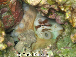 Hidden octopus by Todd Karberg