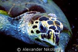 Green turtle. Canon 40D, Sigma 50mm. by Alexander Nikolaev