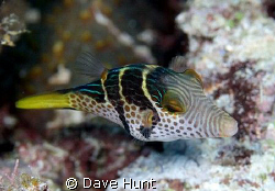 Black-saddled toby. Great Barrier Reef.  60mm macro on Ca... by Dave Hunt