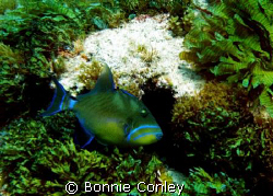 Queen Triggerfish seen at Isla Mujeres April 2006.  Photo... by Bonnie Conley