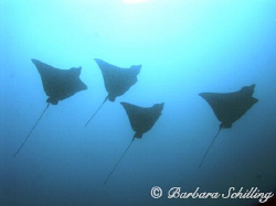 Eagle Rays in the distance during a channel crossing in t... by Barbara Schilling
