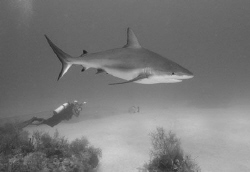 Shark, diver, and grouper. by David Heidemann