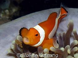 clownfish by Volker Katzung