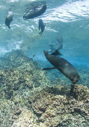 sealions. Galapagos. 10.5mm. by Derek Haslam