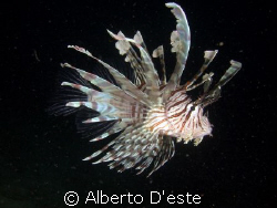 Lion Fish - Jetty -  Derawan est Borneo by Alberto D'este