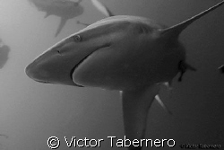 Black Tip Shark in Aliwhal Shoal by Victor Tabernero