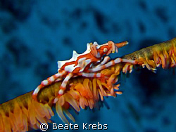 Xeno crab , Canon S70 with macro lens , Inon Z240 by Beate Krebs