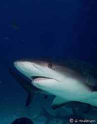This photo was taken while enjoying a shark feeding dive ... by Steven Anderson