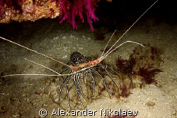 Omani lobster. by Alexander Nikolaev