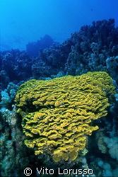 Coral by Vito Lorusso