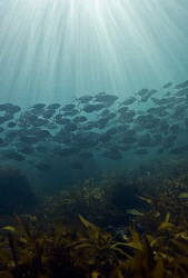 Juvenile trevally swimming through a kelp bed.   Off the ... by Cal Mero