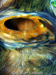 Giant Clam by Volker Katzung