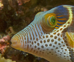 Close-up of Black-Saddled Toby (Canthigaster valentini) i... by Jim Chambers