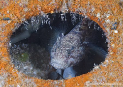 Black Goby. Trefor Pier, N. Wales. 60mm. by Mark Thomas