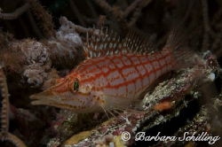 Longnosehawkfish not shy at all! Taken with a Canon EOS 2... by Barbara Schilling