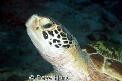 This turtle doesn't think much of me.  Steve's Bommie, Gr... by Dave Hunt