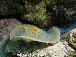 Blue spotted Ray at the housereef  El Quadim, Canon S70  by Beate Krebs