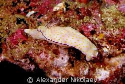 Nudibranch. by Alexander Nikolaev