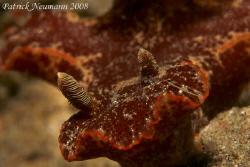 Nudibranch Anilao taken with Canon 400 D + 100mm Macro lens by Patrick Neumann