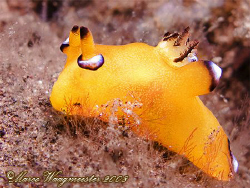 Nudibranch (Thecacera pacifica) (Canon G9, Inon D2000w) by Marco Waagmeester