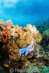 Blue Sea Star reaching for the sun on a Bunaken reef. Nik... by Nigel Wade