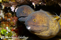 Two morays sharing a cleaning station. by Barbara Schilling
