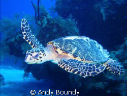 This was a really cool Hawksbill turtle - as big as I hav... by Andy Boundy