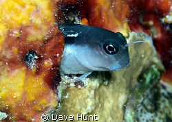 Bicolor blenny, Great Barrier Reef by Dave Hunt