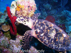 I'm a bit turtle mad! I stalked his guy with my buddy in ... by Andy Boundy