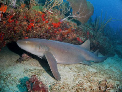 Nurse Shark at Patillas, Puerto Rico.  Canon G9 in Patima... by Juan Torres