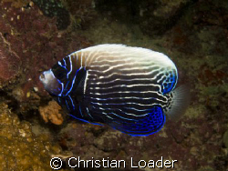 Emperor Angelfish - changing from juvenile to adult.  Ba... by Christian Loader