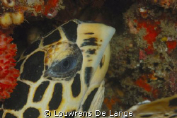 Close-up of Hawksbill turtle by Louwrens De Lange