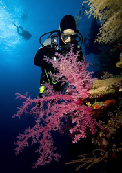 Diver & Soft Coral at Dedalus Reef, Red Sea. by Nicholas Samaras