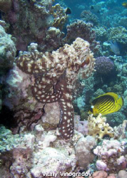 Diagonal butterfly fish looks closely at red sea octopus by Vitaly Vinogradov