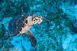 Green Sea Turtle swam at me to investigate.  Nikon D200 I... by Don Bricker