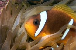 Clown fish from the philippines taken with the 105 macro ... by Viora Alessio