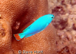 Blue devil damselfish.  I've never seen a more vibrant bl... by Dave Hunt