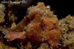 Baby Frogfish (3cm) taken in Anilao, Philippines with Can... by Patrick Neumann