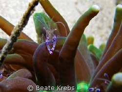 Anemone shrimp, canon S70 with macro lens by Beate Krebs